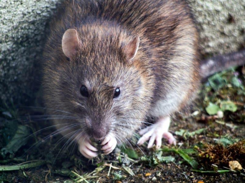rat population